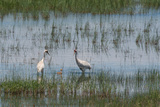 Pair of Whooping Cranes, Grus Americana, with their Chick in Marsh Photographic Print by Tom Murphy