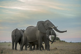 An African Elephant Herd Dusting with Beautifully Colored Clouds Behind Them Photographic Print by Beverly Joubert
