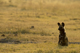 An African Wild Dog Sits and Looks into the Distance in the Afternoon Light Photographic Print by Beverly Joubert