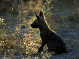 An African Wild Dog, Lycaon Pictus, Pup Sitting at Sunset Photographic Print by Beverly Joubert