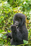 A Young Mountain Gorilla, Gorilla Beringei Beringei, Eating Leaves of Plants Photographic Print by Tom Murphy