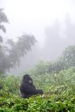 Mountain Gorilla, Gorilla Beringei Beringei, Sitting in Misty Forest Photographic Print by Tom Murphy