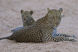 A Female Leopard Rests with Her Cub in South Africa's Timbavati Game Reserve Photographic Print by Steve Winter