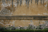 Pink Flowers Growing on an Old Wall in Florence's Boboli Garden Photographic Print by Matt Propert