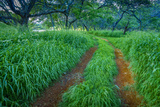 Green Grasses in Kiawe Forest on Molokai's West End Photographic Print by Richard A. Cooke
