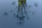 Reflection of Dandelion on Water Photographic Print by Tyrone Turner