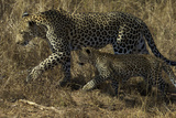 A Female Leopard with Cub in South Africa's Sabi Sand Game Reserve Photographic Print by Steve Winter
