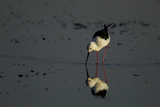 A Black-Winged Stilt, Himantopus Himantopus, Foraging in the Water Photographic Print by Beverly Joubert
