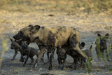 An African Wild Dog, Lycaon Pictus, with its Pups Photographic Print by Beverly Joubert