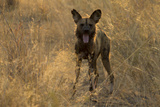 An African Wild Dog, Lycaon Pictus, Yawns at Sunset Photographic Print by Beverly Joubert