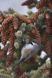 A Boreal Chickadee Perches on a Tree Branch Reproduction photographique par Michael Quinton