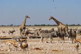 A Group of Animals at the Watering Hole, Giraffe, Springbok, Gemsbok and Zebra Fotografisk tryk af Anne Keiser