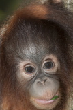 An Infant Bornean Orangutan, Pongo Pygmaeus, in Sabah Photographic Print by Nicole Duplaix