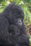 Mountain Gorilla, Gorilla Beringei Beringei, with its Young Photographic Print by Tom Murphy