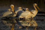 A Flock of Pelicans Standing in the Water Photographic Print by Beverly Joubert