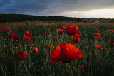 Field of Poppies in Monteriggioni, Italy Photographic Print by Matt Propert