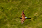 A Southern Carmine Bee-Eater, Merops Nubicoides, in Flight Reproduction photographique par Beverly Joubert
