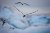 An Arctic Tern Flies High over Glacier Bay in Iceland Photographic Print by Keith Ladzinski