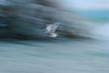 A Long Exposure of an Arctic Tern Flying over Glacier Bay in Iceland Photographic Print by Keith Ladzinski