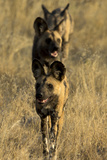 A Pack of African Wild Dog, Lycaon Pictus, Walking in a Row, on Patrol Photographic Print by Beverly Joubert