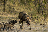 An African Wild Dog, Lycaon Pictus, with Pups Photographic Print by Beverly Joubert
