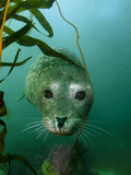 Portrait of a Harbor Seal Fotografie-Druck von Jeff Wildermuth