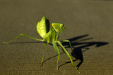 Close Up of a Praying Mantis Photographic Print by Beverly Joubert