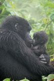 Portrait of Mountain Gorilla, Gorilla Beringei Beringei, Embracing its Young Photographic Print by Tom Murphy