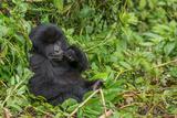 Mountain Gorilla, Gorilla Beringei Beringei, Eating Plants in Forest Photographic Print by Tom Murphy