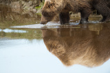 A Brown Bear, Ursus Arctos, Reflected on the Surface of the Water Photographic Print by Charles Smith