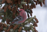 A Pine Grosbeak Perches on a Tree Branch Photographic Print by Michael Quinton