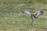 Sandhill Crane, Grus Canadensis, with Spread Wings Photographic Print by Tom Murphy