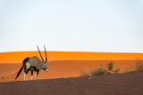 An Oryx or Gemsbok, Oryx Gazella, Crosses Sand Dunes Near Deadvlei in Namibia Fotografisk tryk af Alex Treadway