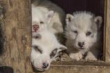 Greenlandic Husky Puppies Photographic Print by Cristina Mittermeier