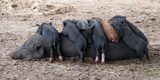 Piglets Sleep on Top of an Adult Pig Photographic Print by Nicole Duplaix