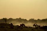 Silhouette of Lechwe, Kobus Leche, Grazing at Sunset Photographic Print by Beverly Joubert