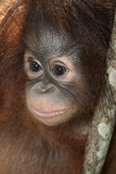 Close Up of a Bornean Orangutan, Pongo Pygmaeus Photographic Print by Nicole Duplaix
