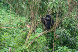 A Mountain Gorilla, Gorilla Beringei Beringei, Sitting in a Tree Photographic Print by Tom Murphy