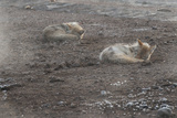 A Pair of Coyotes, Canis Latrans, Sleeping in Yellowstone National Park Photographic Print by Tom Murphy