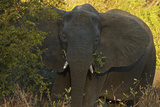 An African Elephant in South Africa's Timbavati Game Reserve Photographic Print by Steve Winter