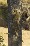 A Leopard Cub Climbs a Tree in South Africa's Timbavati Game Reserve Photographic Print by Steve Winter