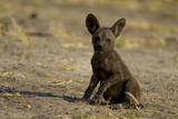 An African Wild Dog Pup, Lycaon Pictus Photographic Print by Beverly Joubert