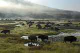 A Herd of Bison in Yellowstone National Park's Hayden Valley Photographic Print by Michael Nichols