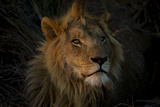A Male Lion, Panthera Leo, with the Light from the Setting Sun on His Face Photographic Print by Beverly Joubert