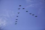 Flock of Birds Flying in Formation Photographic Print by John Burcham
