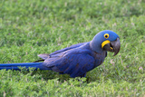 A Hyacinth Macaw, Anodorhynchus Hyacinthinus, Resting in the Grass Photographic Print by Nicole Duplaix