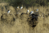 Herd of Water Buffalo, with Cattle Egret Perched on their Backs, Botswana Photographic Print by Anne Keiser