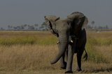 An African Elephant, Loxodonta Africana, Mock Charging Photographic Print by Beverly Joubert