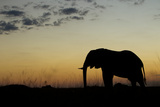 An African Elephant, Loxodonta Africana, Silhouetted Against the Setting Sky Photographic Print by Beverly Joubert