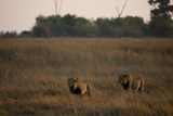 Two Male Lions, Panthera Leo, Patrolling their Territory as the Sun Sets Photographic Print by Beverly Joubert